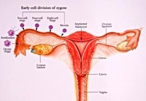 Яйцеклетка сперматозоид образуют